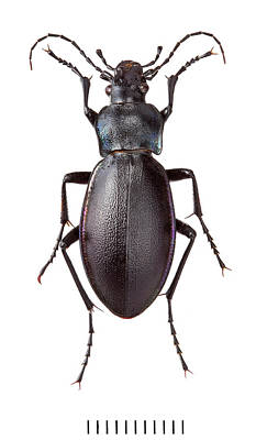 Violet Ground Beetle Poster by Natural History Museum, London