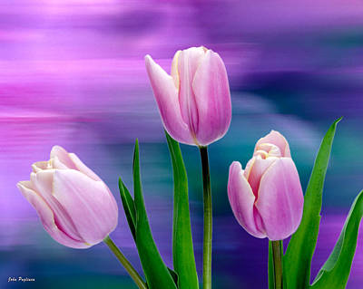 Violet Tulips Poster by John Pagliuca