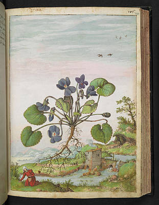 Violet (viola Odorata) Poster by British Library