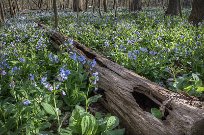 Virginia Bluebells Poster by Michael Donahue