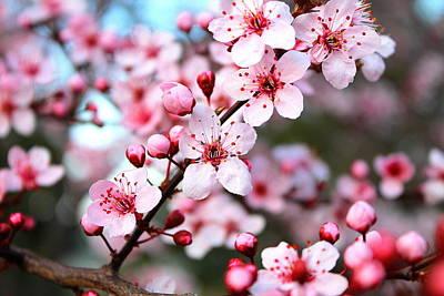 Virginia Cherry Blossom Poster