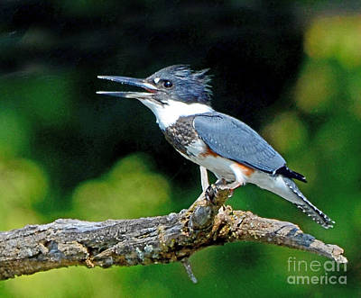 Vocal Belted Kingfisher Poster by Rodney Campbell