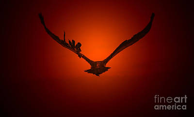 Vulture Flight Into A Golden Sunset Poster by Hermanus A Alberts
