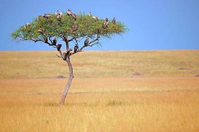 Vultures In Acacia Tree Poster by Bildagentur-online/mcphoto-schulz
