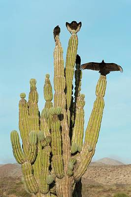 Vultures On A Cactus Poster by Christopher Swann