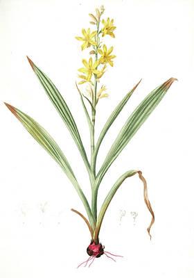 Wachendorfia Thyrsiflora, Wachendorfe En Thyrse, Bloodroot Poster by Artokoloro