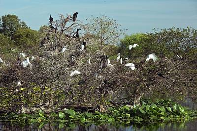 Wading Birds Roosting In A Tree Poster