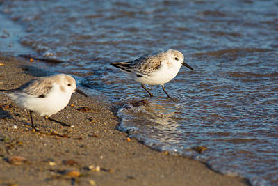 Wading Sanderlings Poster
