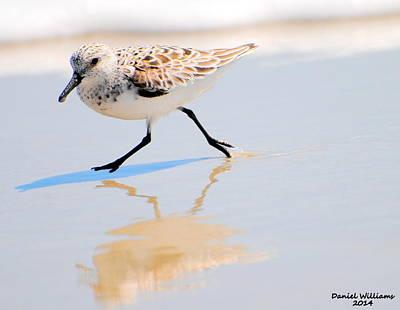 Walking Shorebird  Poster