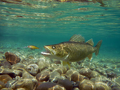 Walleye And Live Target Lure Poster