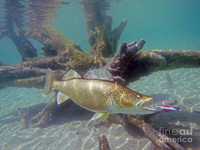 Walleye Pike And Dardevle Poster by Paul Buggia