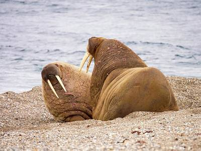 Walrus (odobenus Rosmarus) Poster by Ashley Cooper