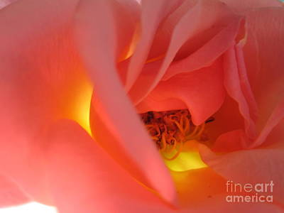 Warm Glow Pink Rose 2 Poster by Tara  Shalton