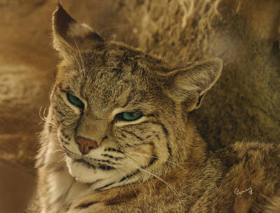 Wary Bobcat Poster
