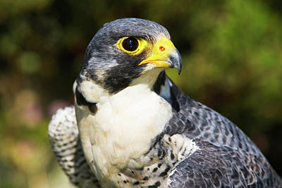 Wary Eye Of Peregrine Falcon Poster by Piperanne Worcester
