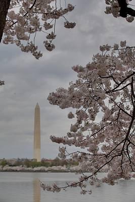 Washington Monument - Cherry Blossoms - Washington Dc - 011319 Poster