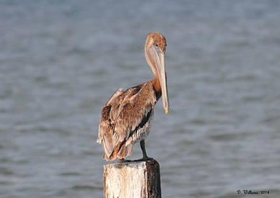 Watchful Pelican Poster