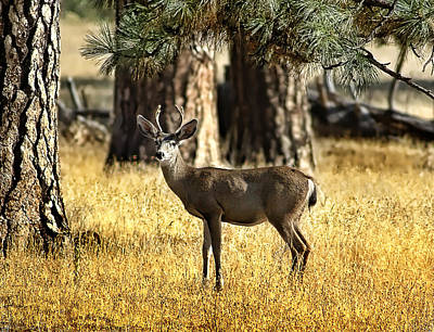 Watchful Young Buck Poster