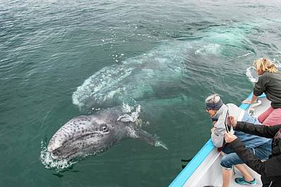 Watching Gray Whales Poster by Christopher Swann