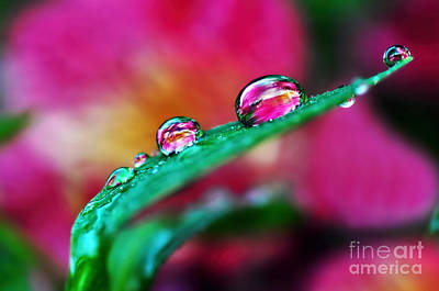 Water Droplets In Magenta Poster