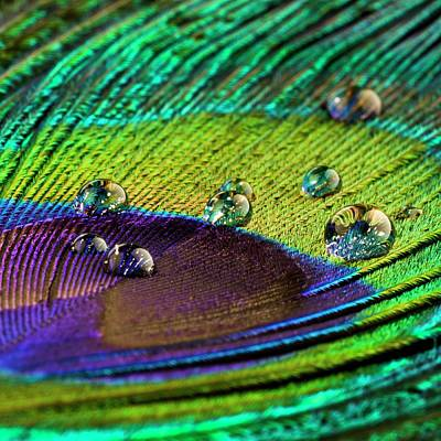 Water Droplets On Peacock Feather Poster by Science Photo Library