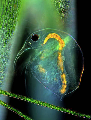 Water Flea And Desmid On Sphagnum Moss Poster