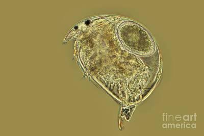 Water Flea, Light Micrograph Poster