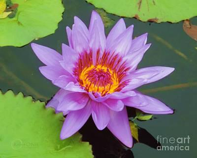Water Lilies 005 Poster by Robert ONeil