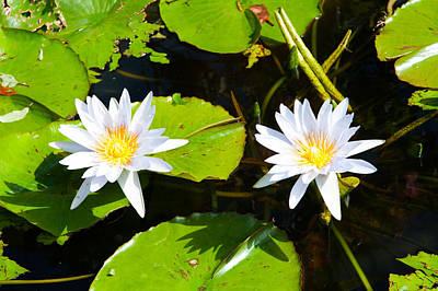 Water Lilies With Lily Pads In A Pond Poster