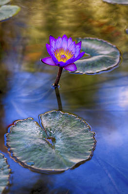 Water Lily 4 Poster by Scott Campbell