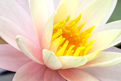 Poster featuring the photograph Water Lily 6 by David Lester