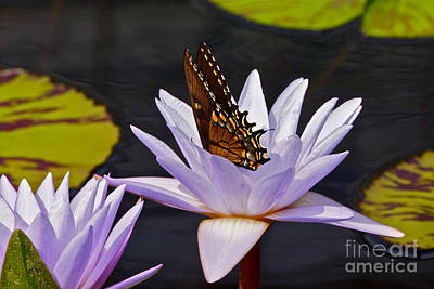 Water Lily And Swallowtail Butterfly Poster