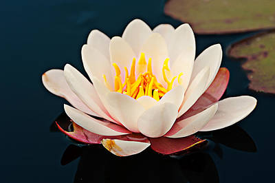 Water Lily In A Pond, Mendocino Coast Poster