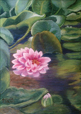 Poster featuring the pastel Water Lily In Bloom  Pastel by Antonia Citrino