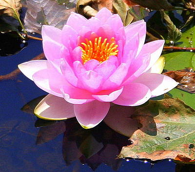 Water Lily In Pink Poster