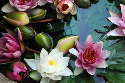Poster featuring the photograph Water Lily Series 1 by Haleh Mahbod