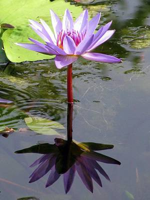 Water Lily - Shaded Poster