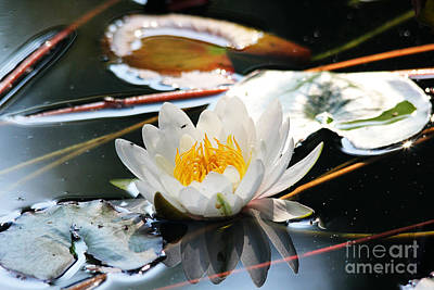 Poster featuring the photograph Water Lily by Trina  Ansel