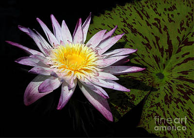 Water Lily With Lots Of Petals Poster by Sabrina L Ryan