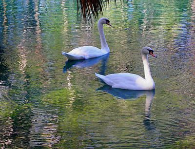 Watercolor Swans Poster by Judy Wanamaker