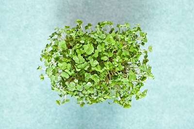 Watercress Poster by Tom Gowanlock