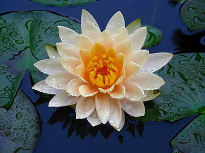 Waterlily After A Shower Poster by Raymond Salani III
