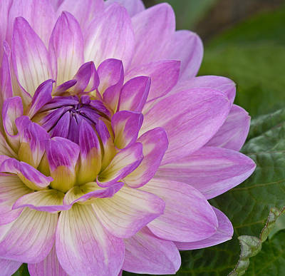 Waterlily Dahlia Poster