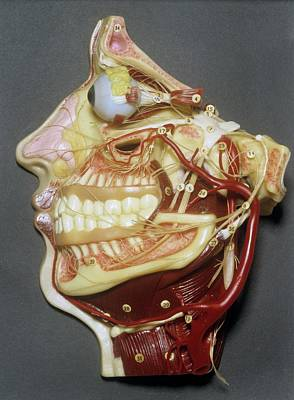 Wax Model Of Face Poster by Science Photo Library