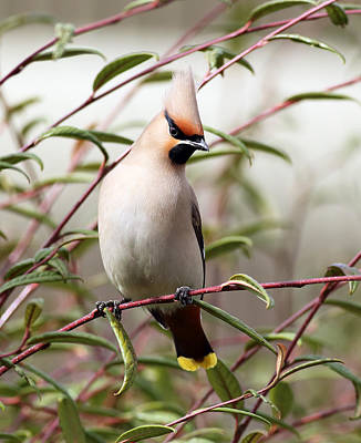Waxwing Poster by Grant Glendinning