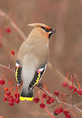 Waxwing In Winter Poster by Mircea Costina Photography
