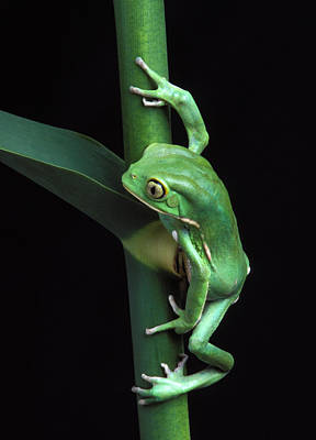 Waxy Monkey Frog On Cane Poster by Robert Jensen