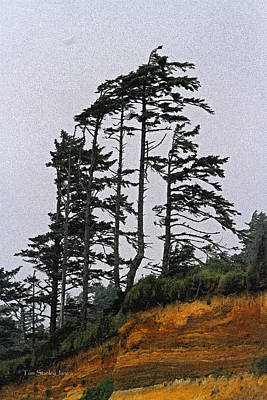 Weathered Fir Tree Above The Ocean Poster by Tom Janca