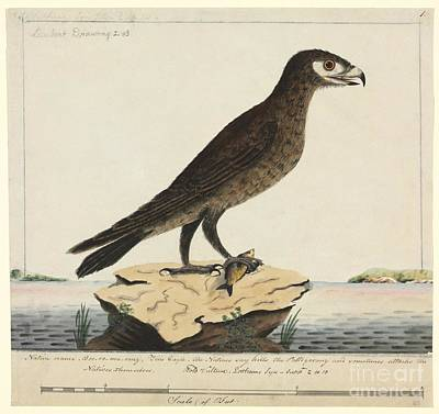 Wedge-tailed Eagle, 18th Century Poster