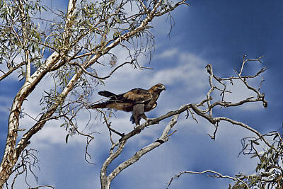 Wedge Tailed Eagle Poster by Douglas Barnard